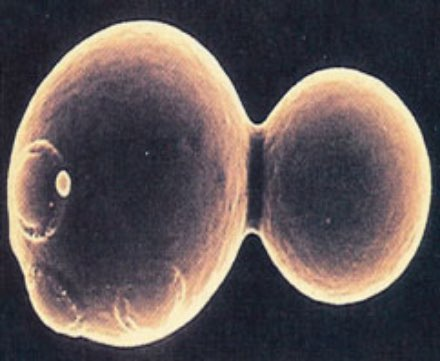 Figure 6. Budding yeast cell with daughter cell.