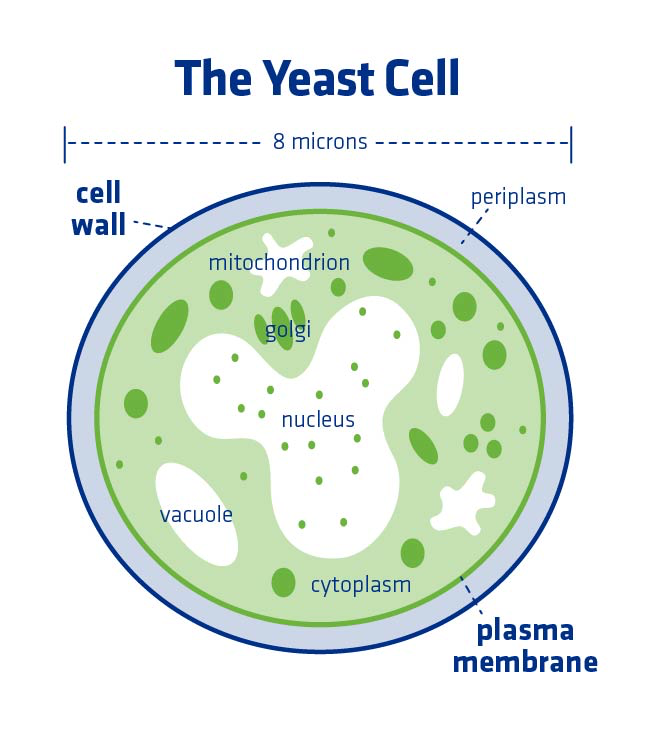 Figure 2. Yeast cell wall, cell membrane, and other internal components.