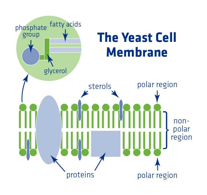 Figure 3. The yeast cell membrane and critical internal components.