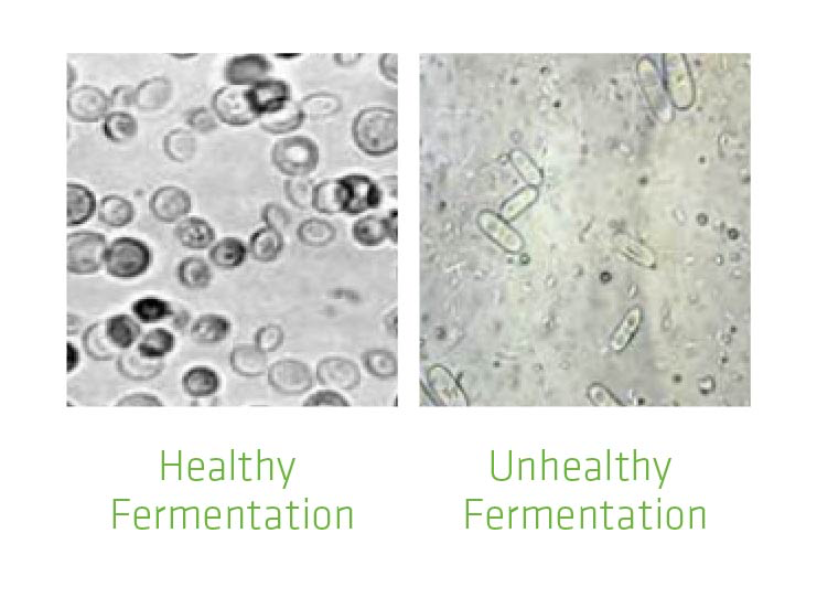Figure 1. Pictures illustrating the significant difference between healthy and unhealthy fermentations.