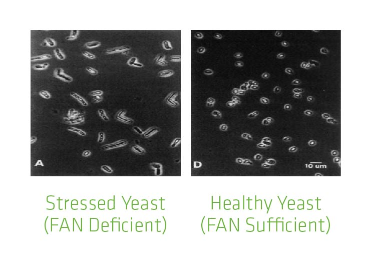 Figure 5. Differences in appearance in FAN deficient vs. FAN sufficient yeast.