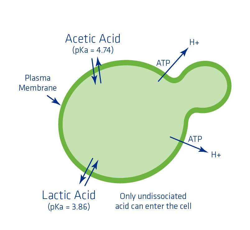 Figure 9. Acid dissociation constant pH levels of lactic and acetic acid and their impact on the yeast cell.