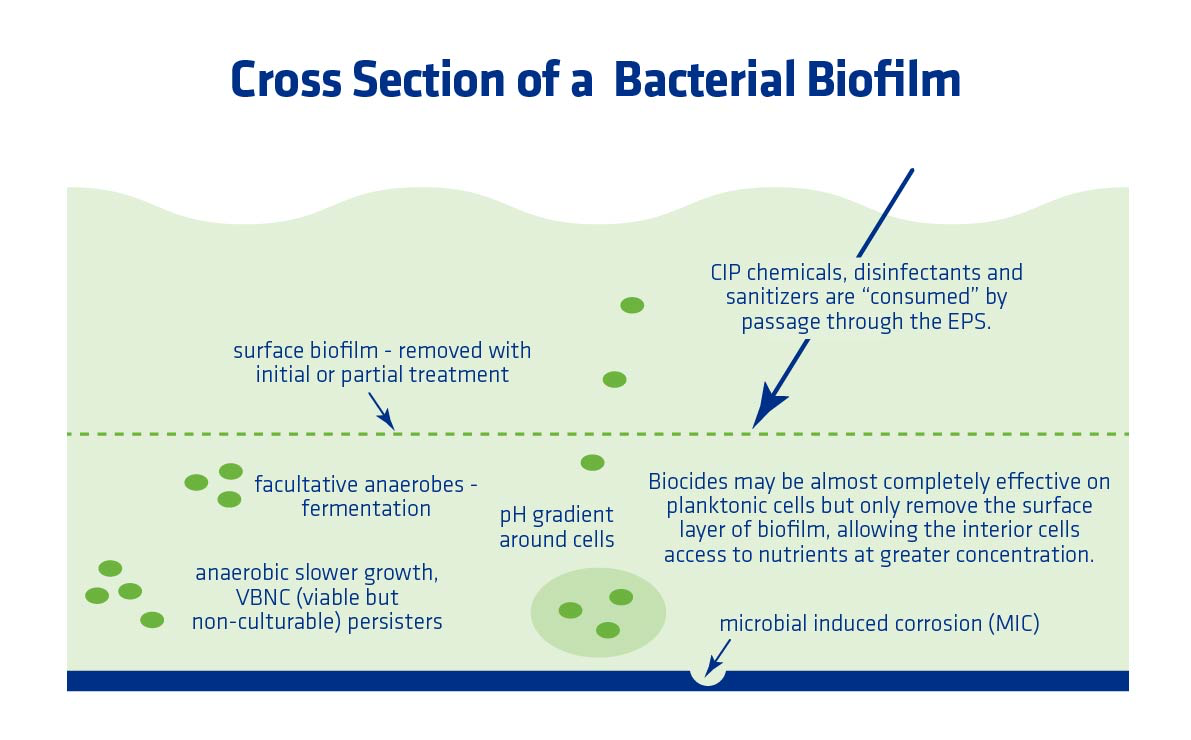 Figure 4. Illustration of a cross section of a bacterial biofilm.